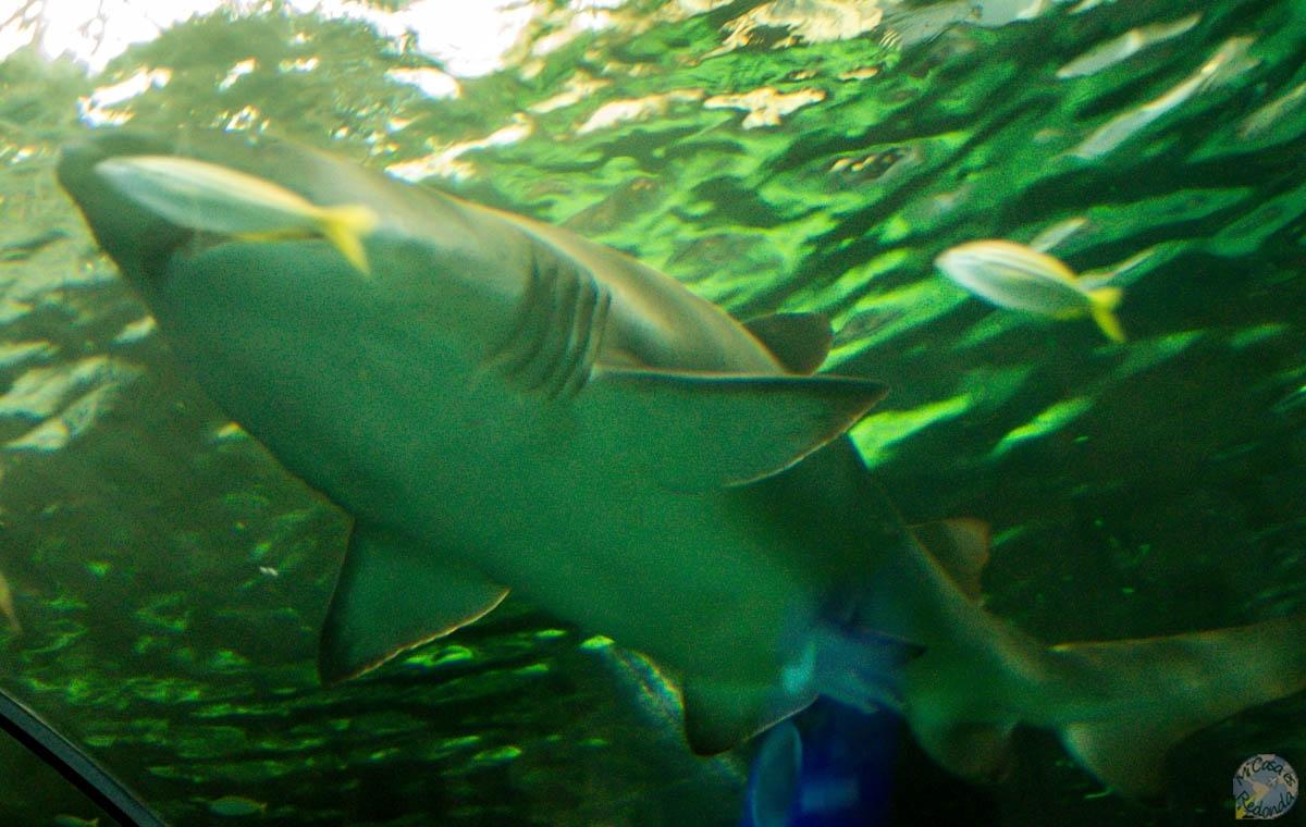 Tiburón tiburón. Acuario de Sydney