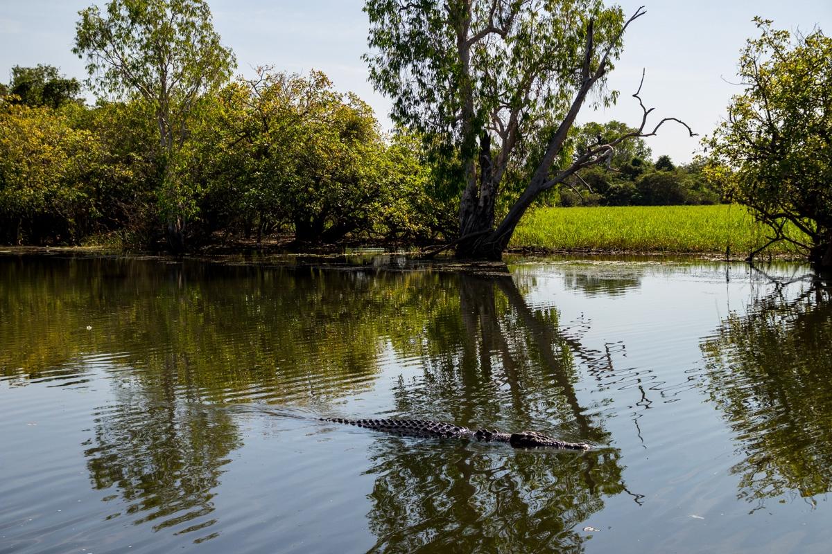 Por cada cocodrilo que ves, hay varios más debajo del agua. Kakadu