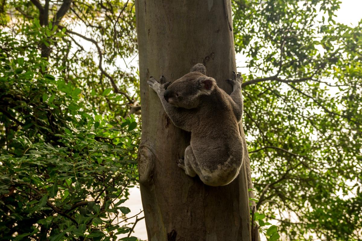 Koala!! En Noosa, junto a la playa