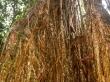 Cathedral Strangler Fig, en Atherton Tablelands, Cairns