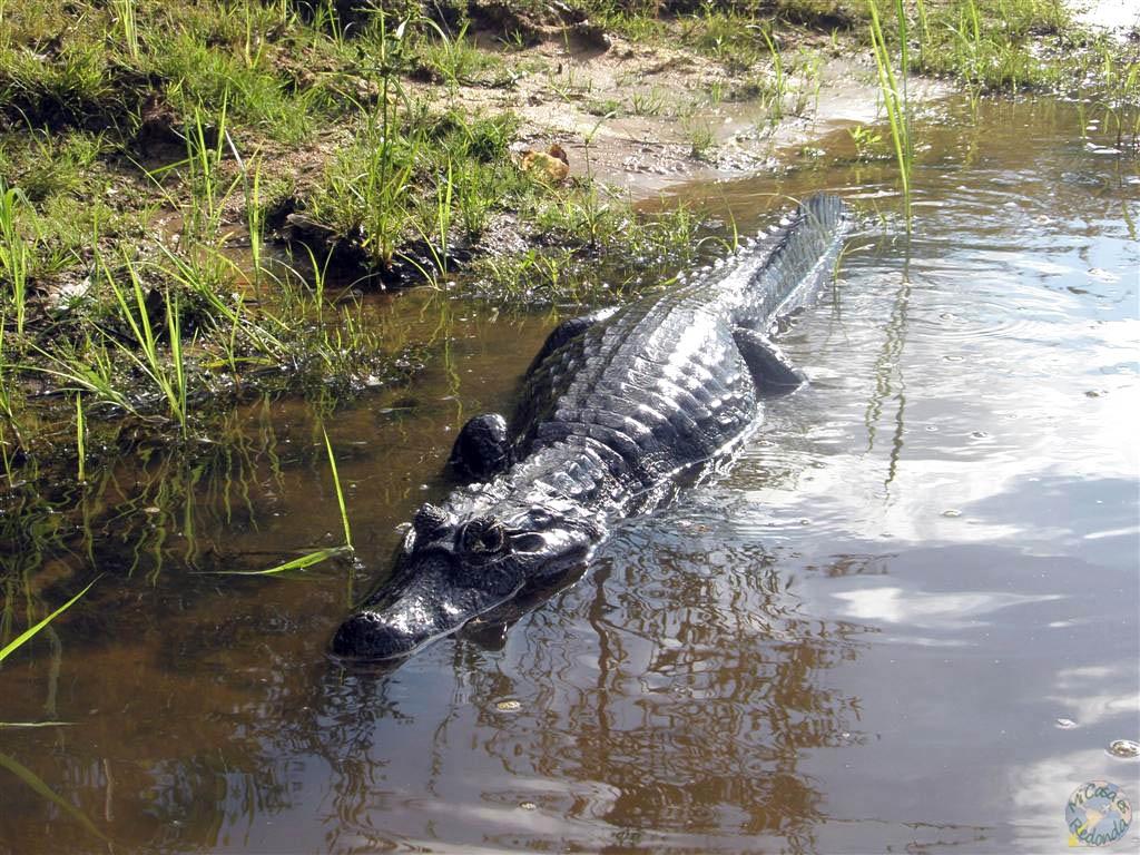 Caimanes por doquier en el Pantanal
