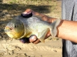 Pescando pirañas en el Pantanal