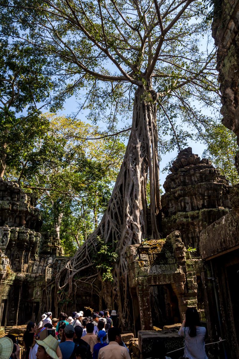 Los árboles surgieron de las ruinas, Angkor