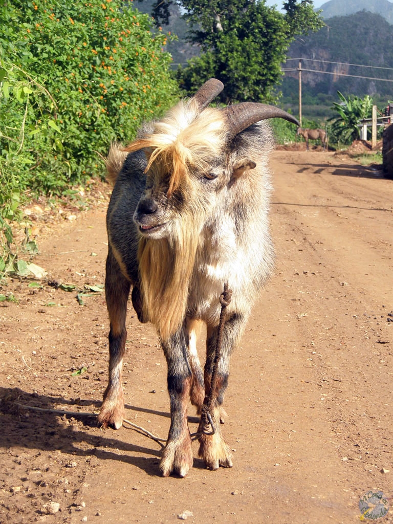Hola, cabra!