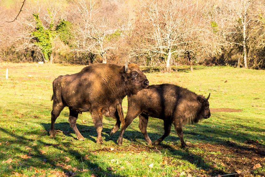 Bisonte Europeo en Asturias