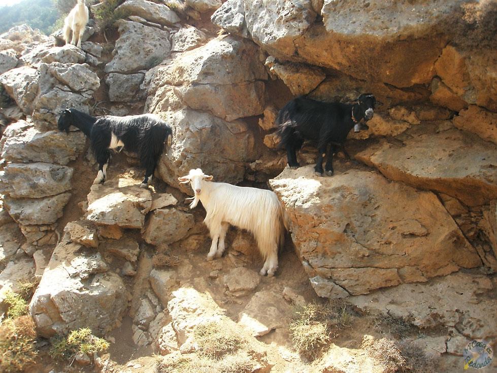 Cabras cretenses, míralas qué majas!