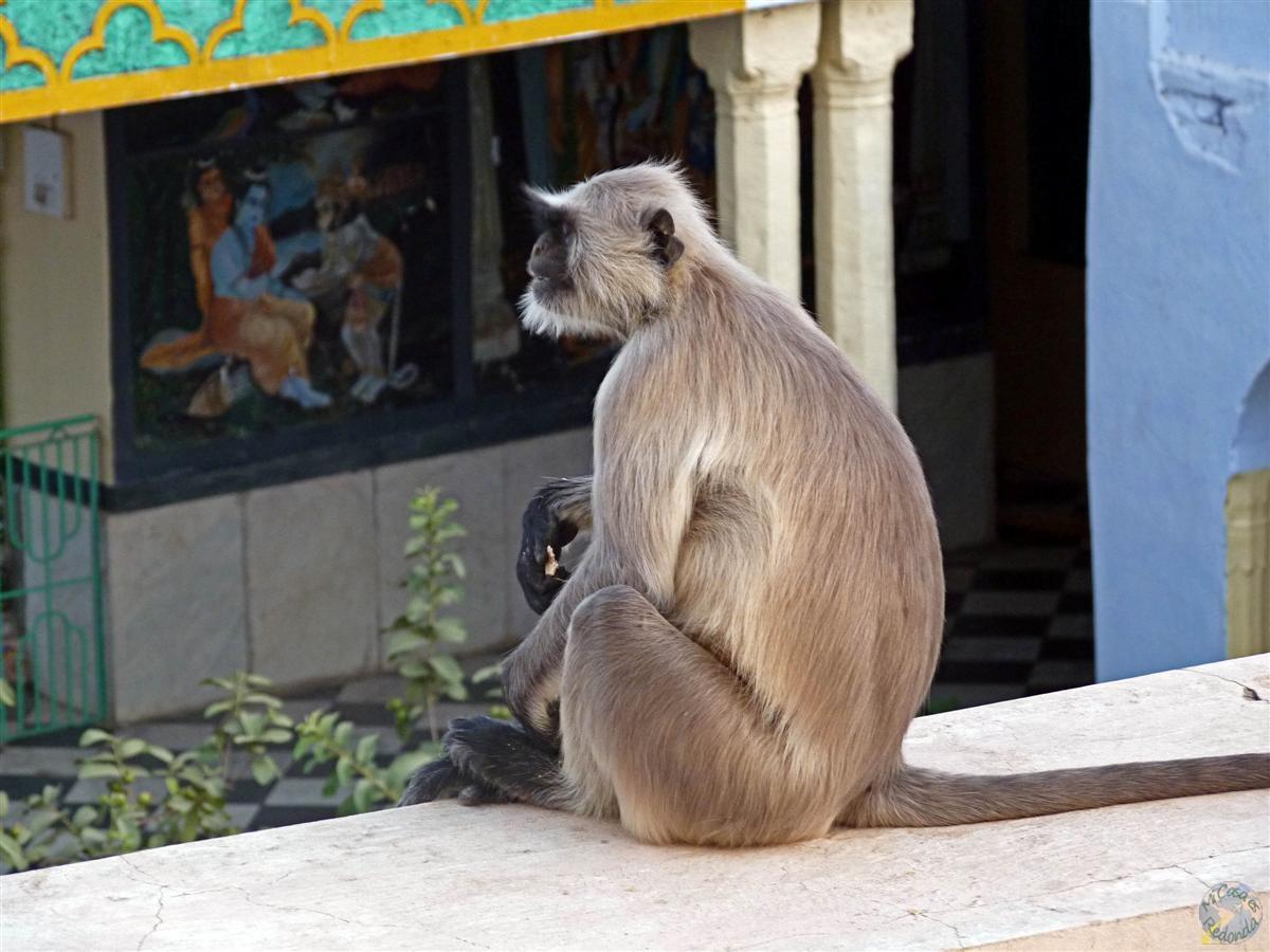 Monos y templos hindúes, gran combinación