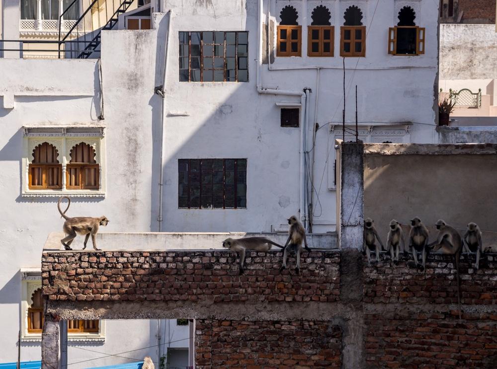 Tribus de monos, Udaipur