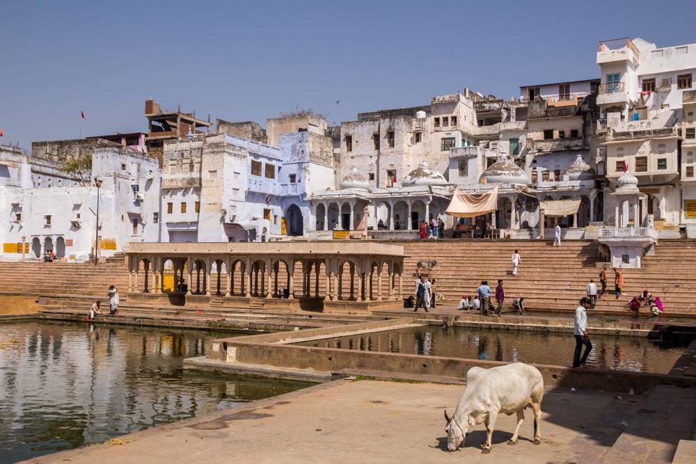 Vacas sagradas y ghats, Pushkar