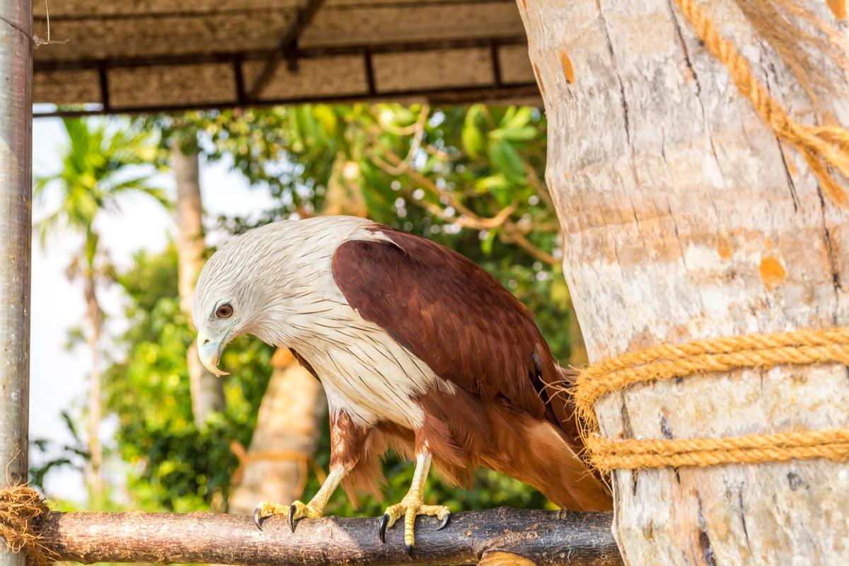 Águila domesticada, no se iba de ahí y le daban comida