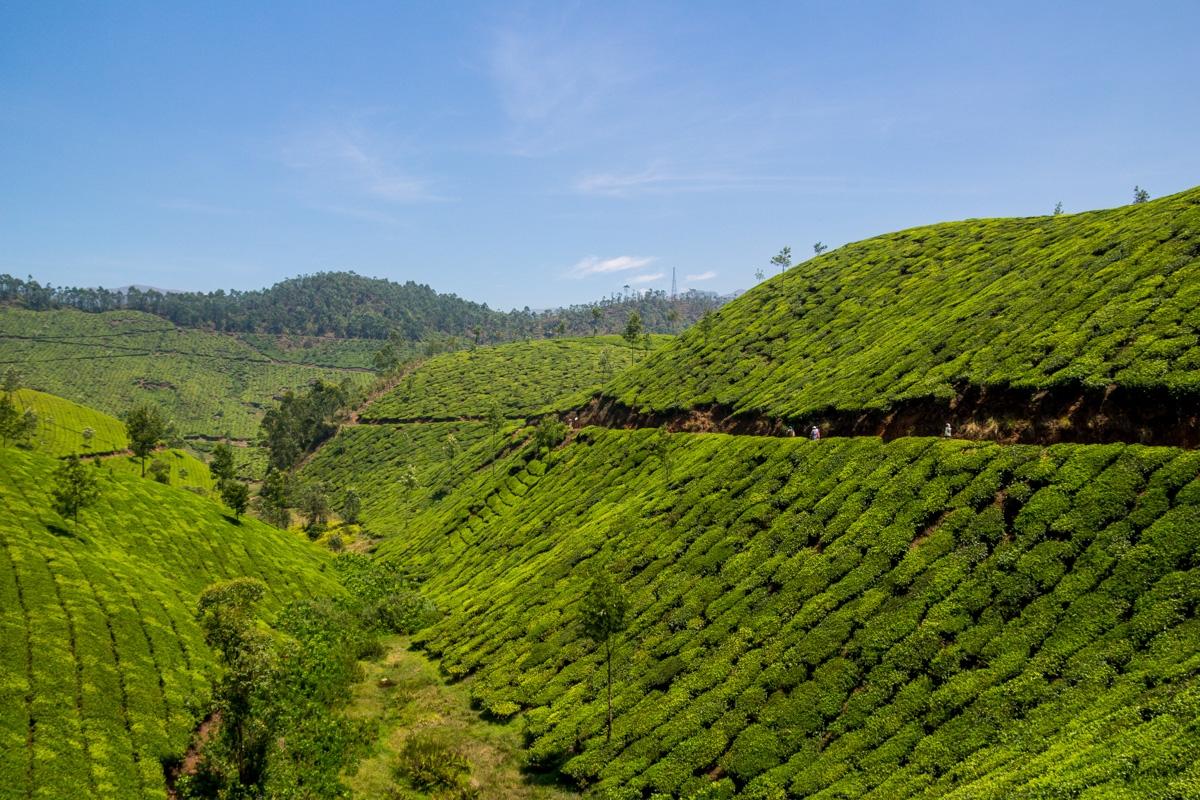 Interminables campos de té, Munnar