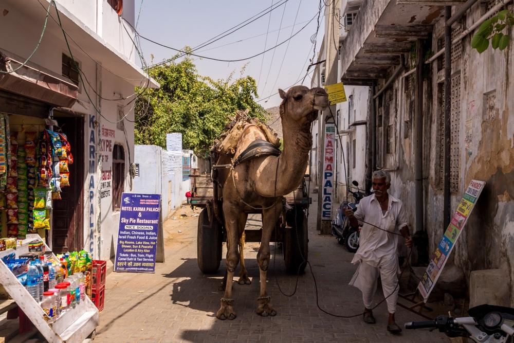 Camellos en la calle, Pushkar