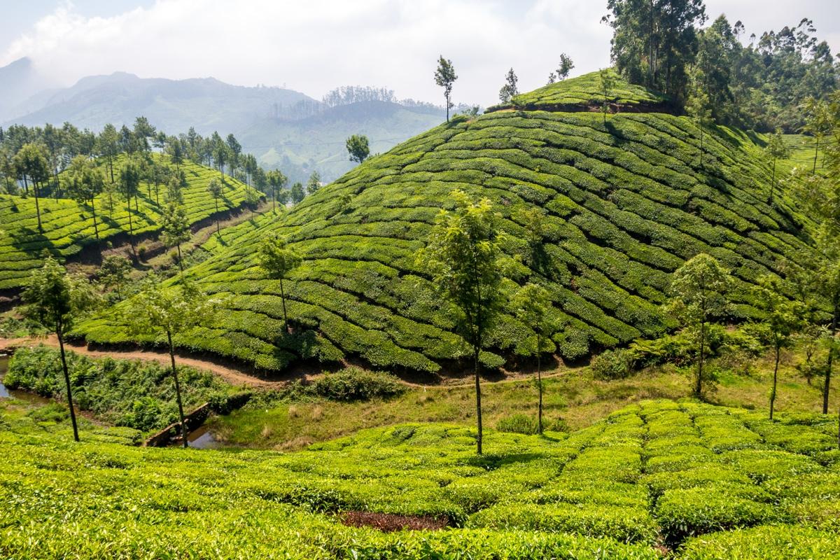 Ondulados campos de té, Munnar