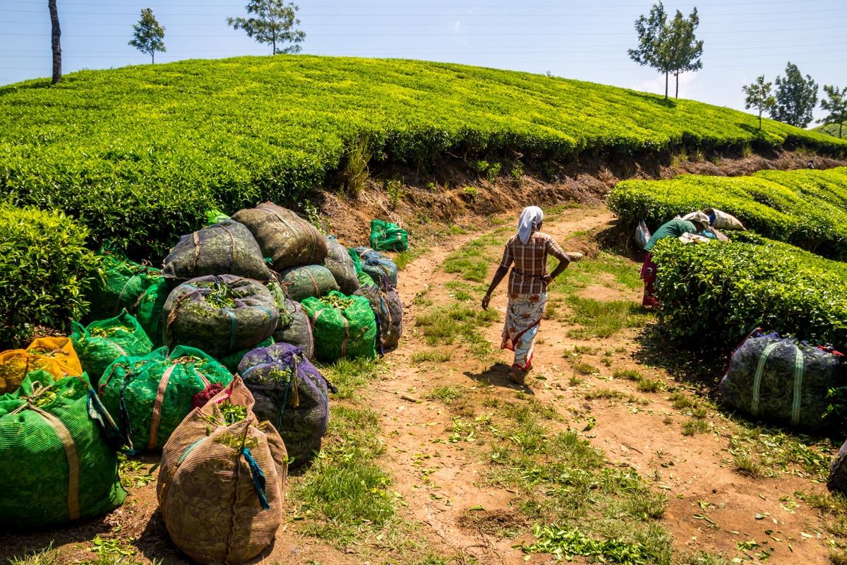 Cargando todo el té recogido, Munnar