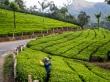 El pesado trabajo recogiendo té