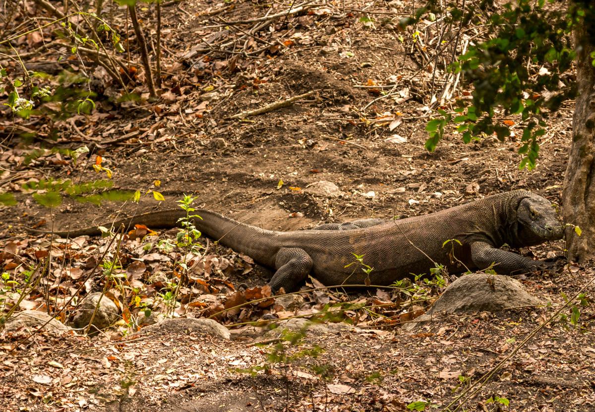 Dragón macho de los grandes (y agresivos, según nos dijeron). Komodo National Park, Rinca