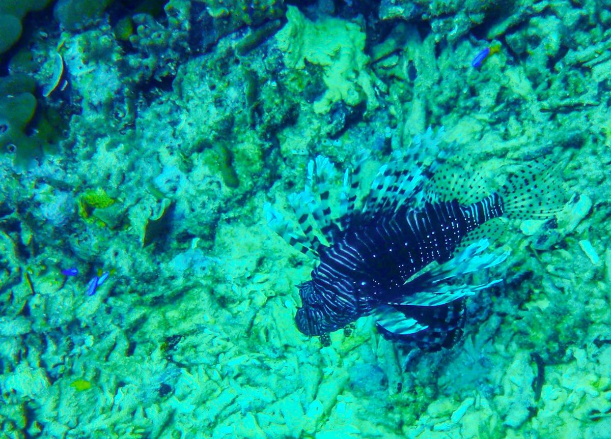 Scorpion Fish, Gili Air
