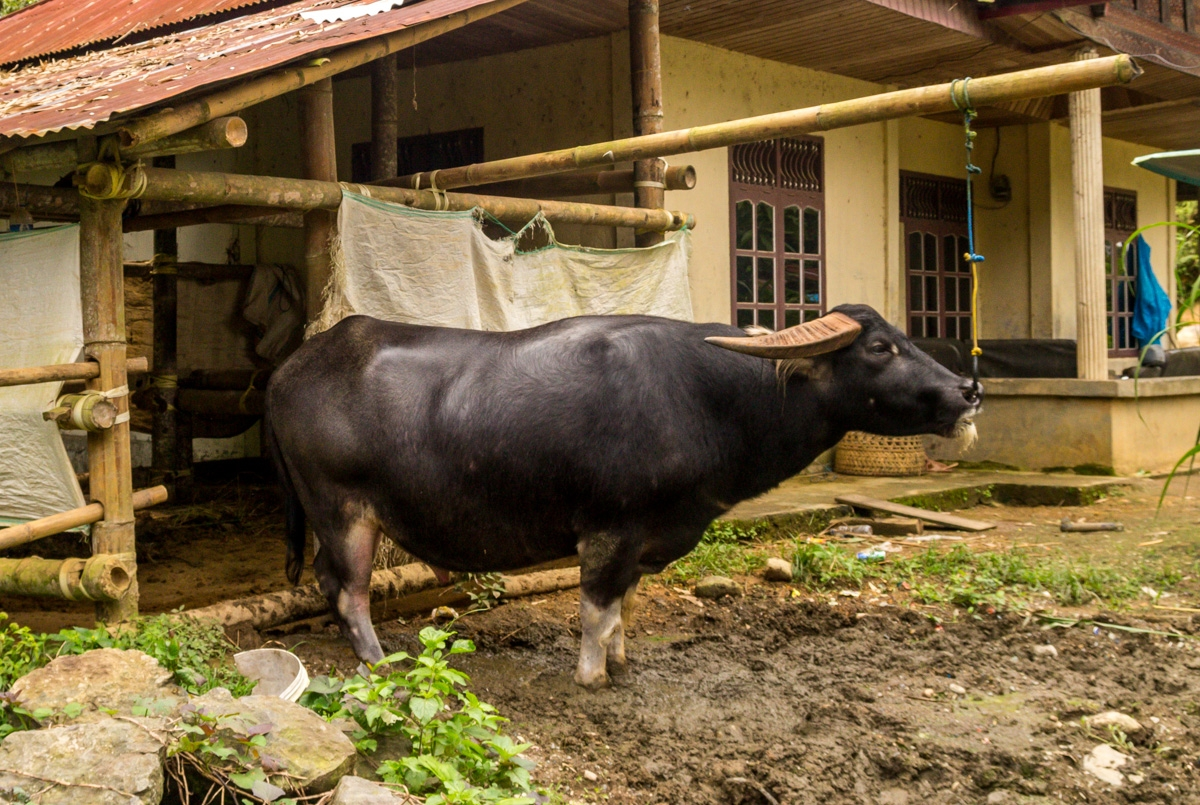 Bufalo!