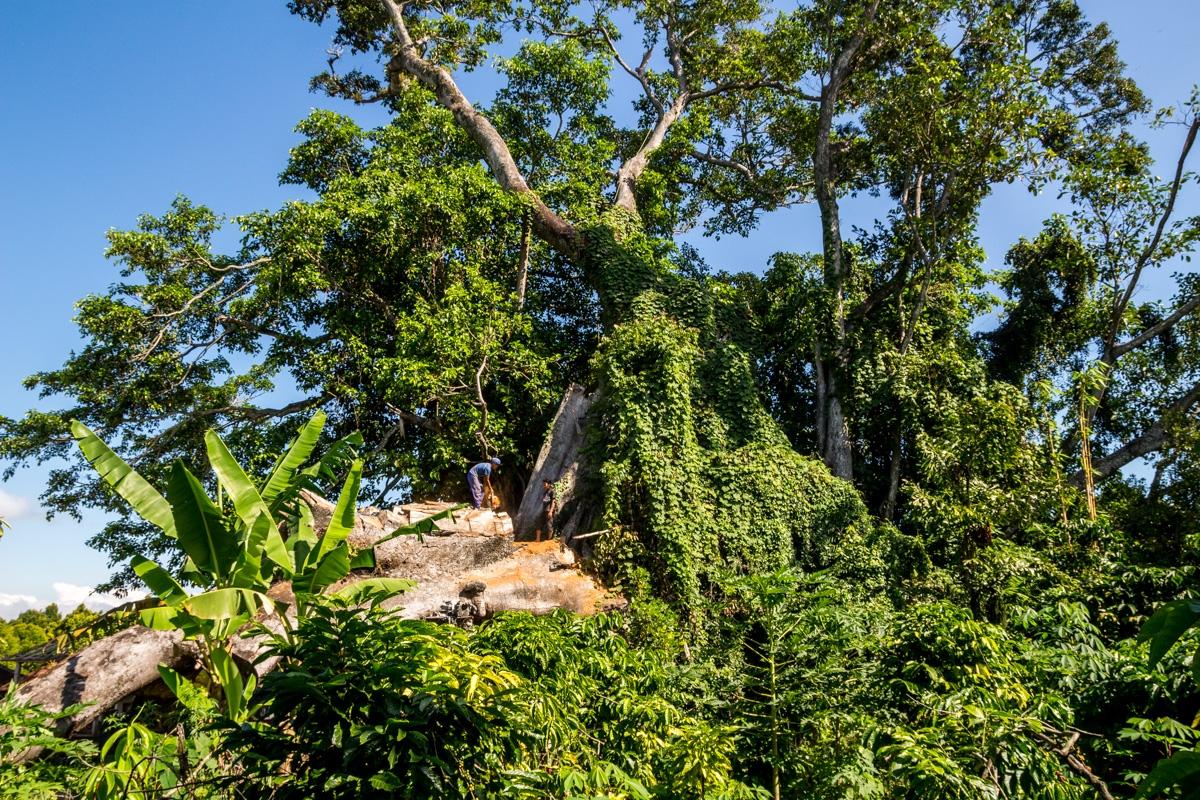El descomunal Banyan Tree, Munduk