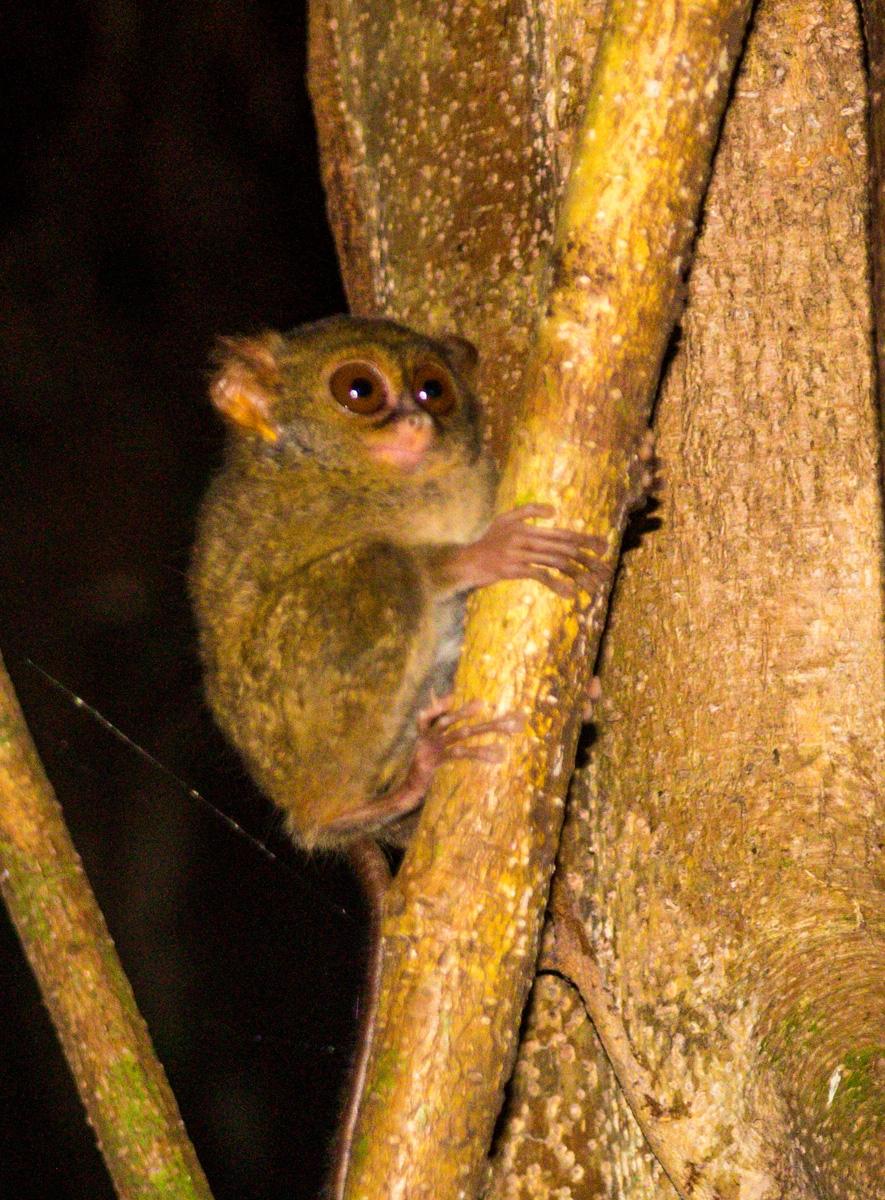 Tarsero!! Spectrum Tarsius, más concretamente. Parque de Tangkoko, Sulawesi