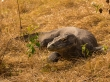 No me pienso acercar más. Komodo National Park, Rinca