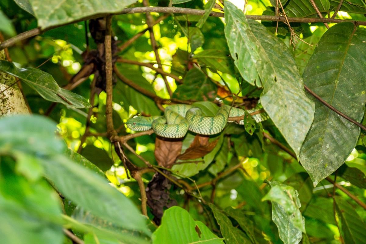 Otra green viper, mejor verla de lejos
