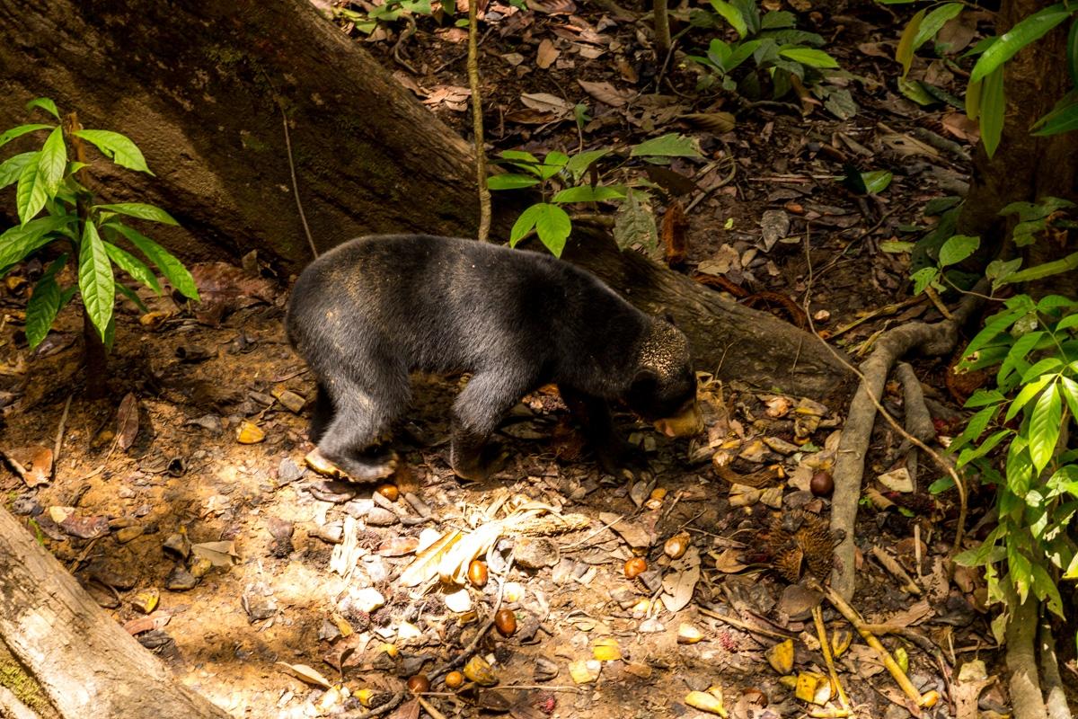 El oso malayo, Sepilok