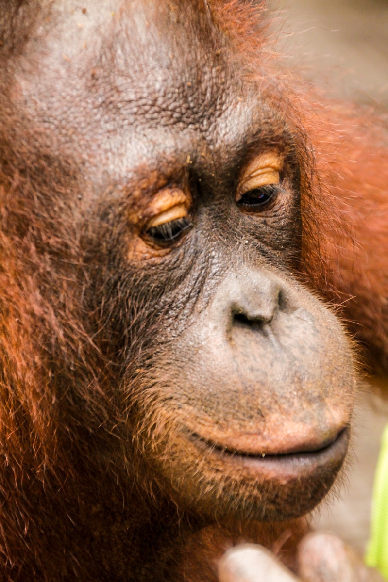 Sifi, el orangután que campaba a sus anchas, Sepilok