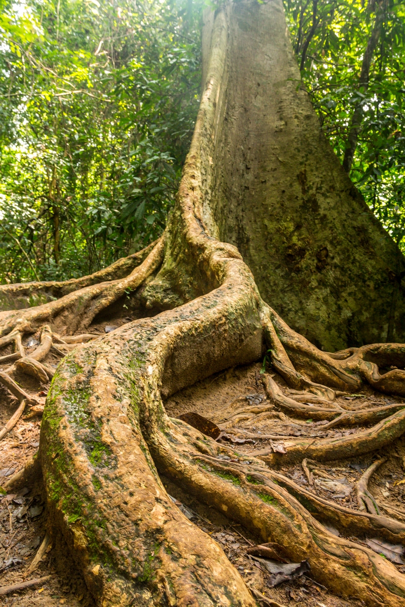 Enormes Fig Trees, Taman Negara