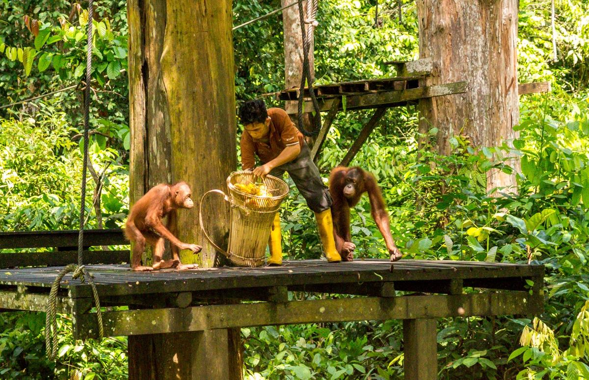 Hora de comer, reserva de orangutanes, Sepilok