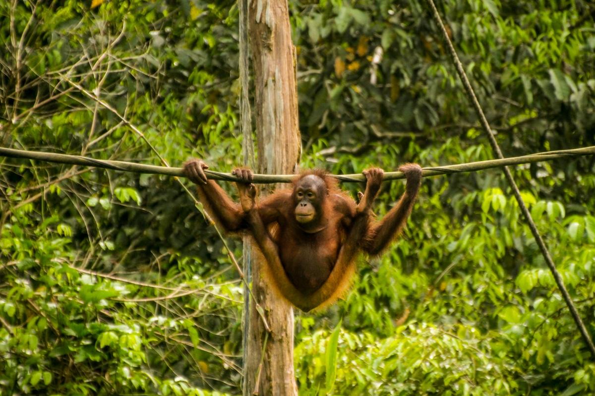 En la cuerda floja, orangutanes de Sepilok