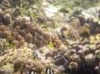 Fondos de corales alrededor de Mabul