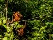 Orangutanes en la reserva de Sepilok