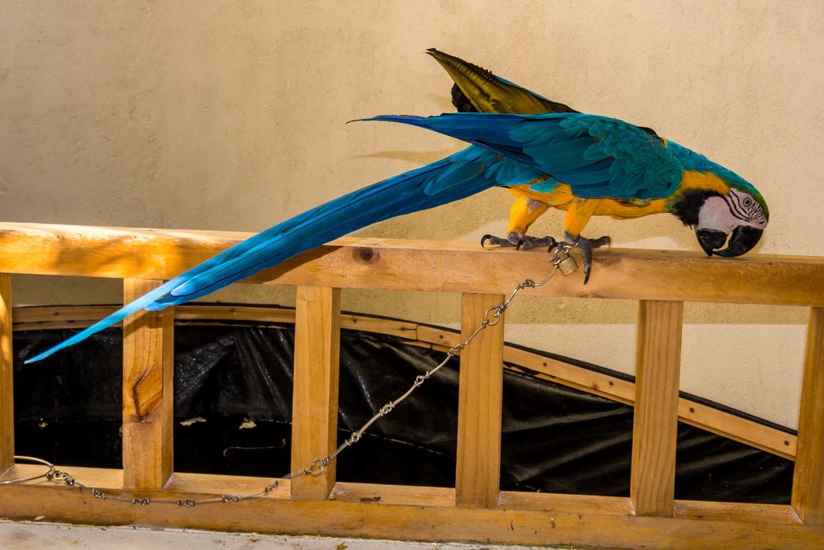 Papagayo encadenado en el alojamiento, Gulhi