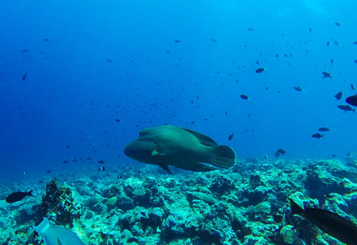 Napoleon fish, enorme