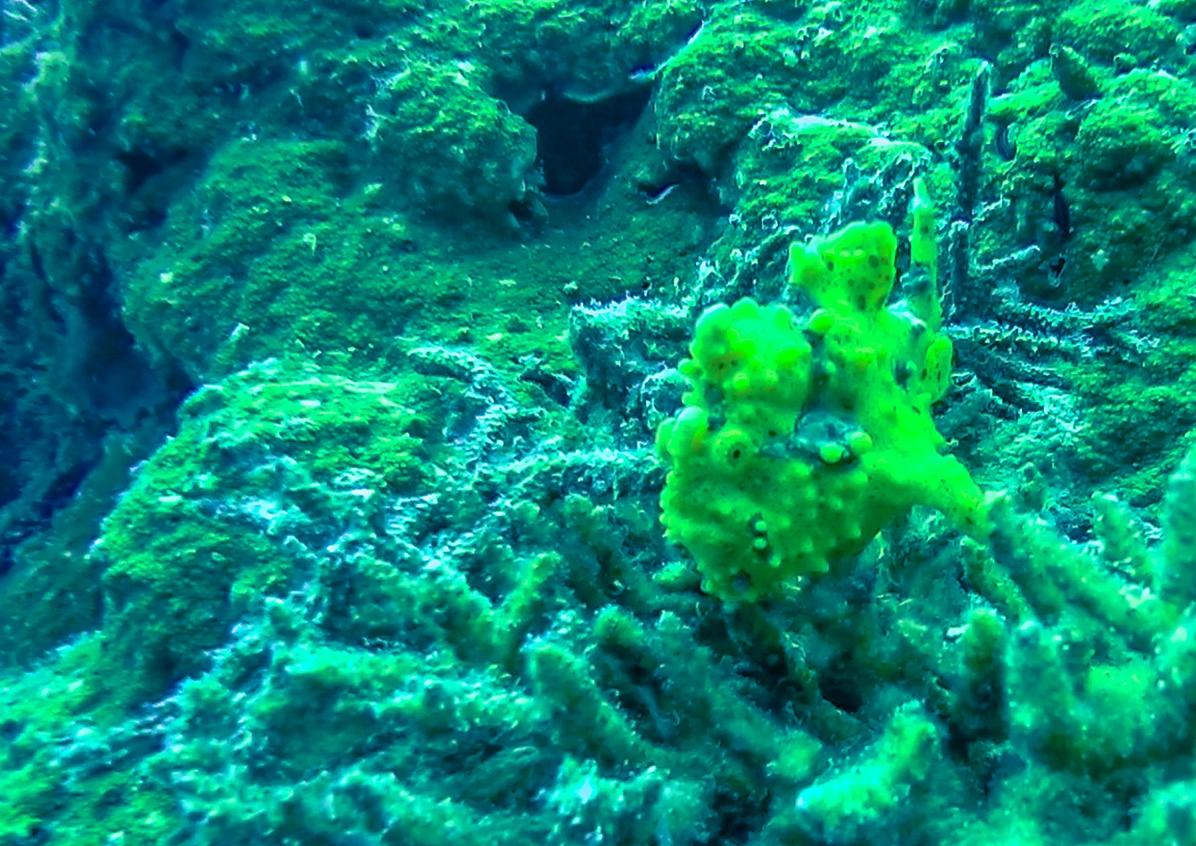 Frog fish. Guraidhoo, Maldivas