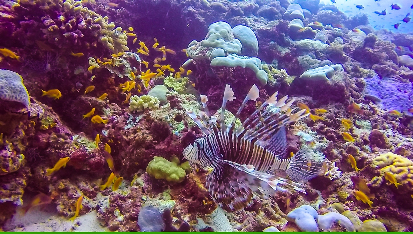 Lion Fish. Buceo en Guraidhoo, Maldivas