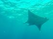 Manta bajo el mar de Maldivas