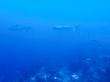 Grey Reef sharks. Tiburones en Guraidhoo, Maldivas