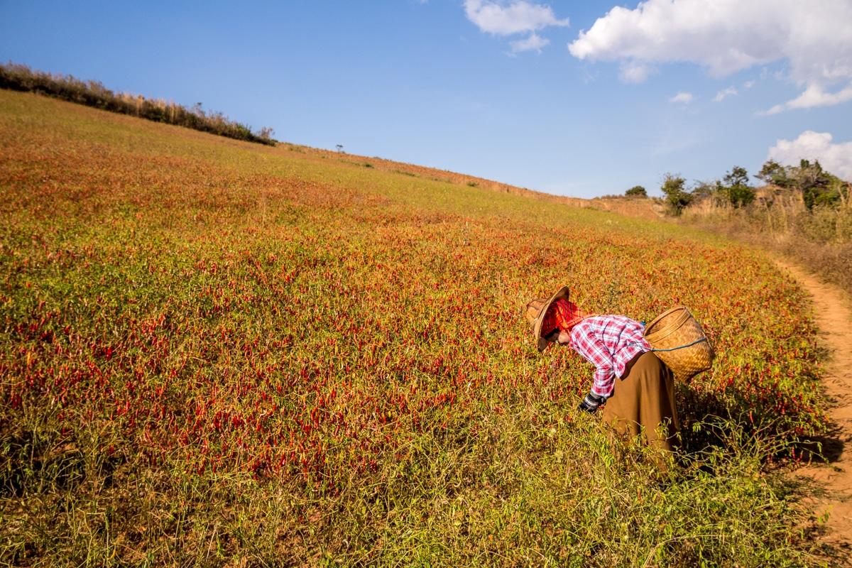 Campos infinitos de chili, Trekking a Inle