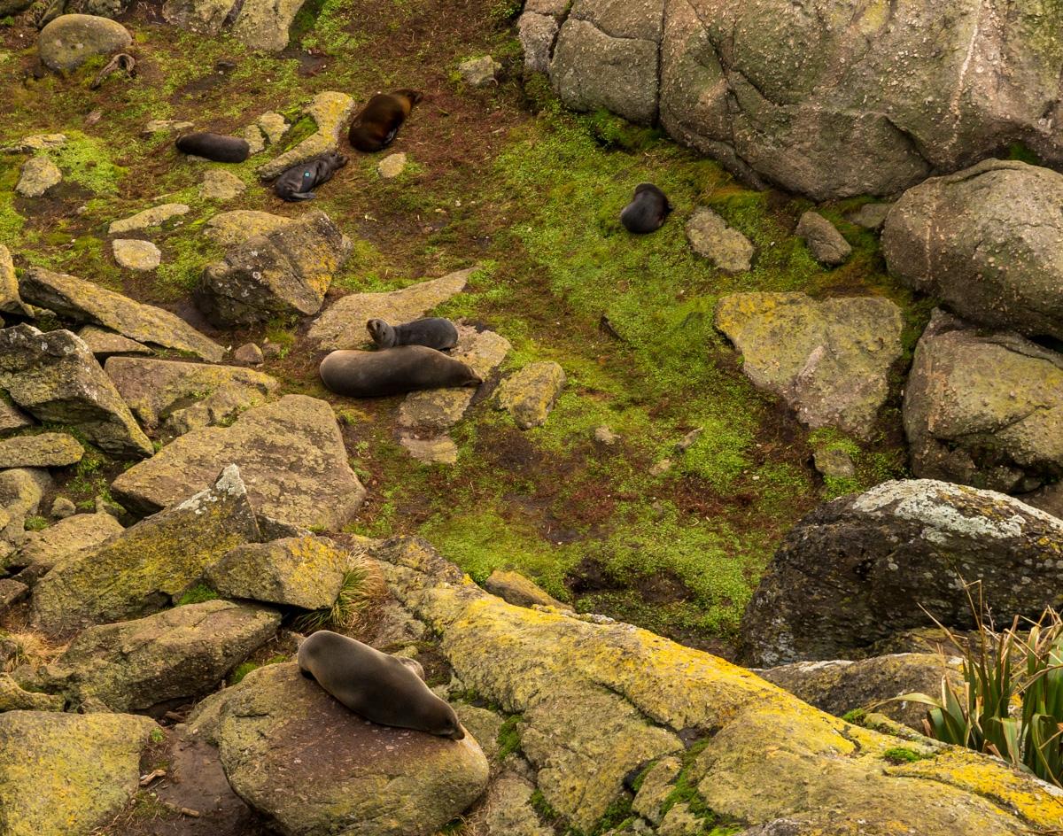 Colonia de focas en Westport