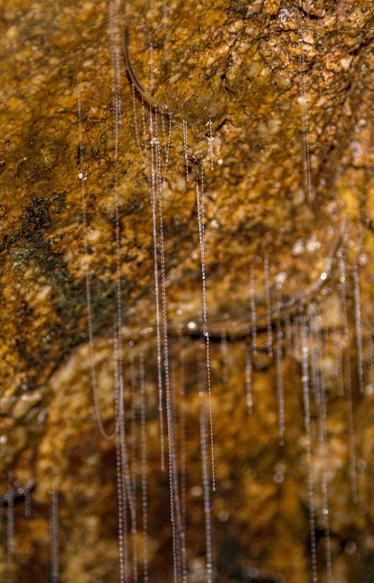 Los glowworms y sus cañas de pescar, Abbey Caves, Northland
