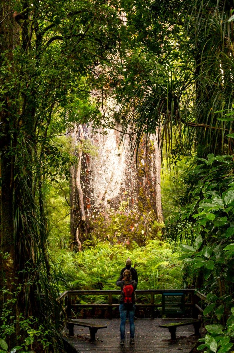 Te Matua Ngahere, Bosque de Waipoua, Northland