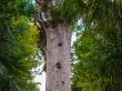 Tane Mahuta (aún estaba lejos de mí), Waipoua Forest, Northland