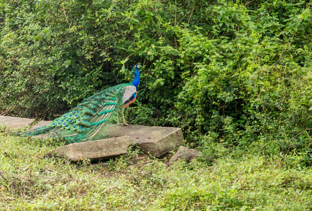 Pavo real, Anuradhapura