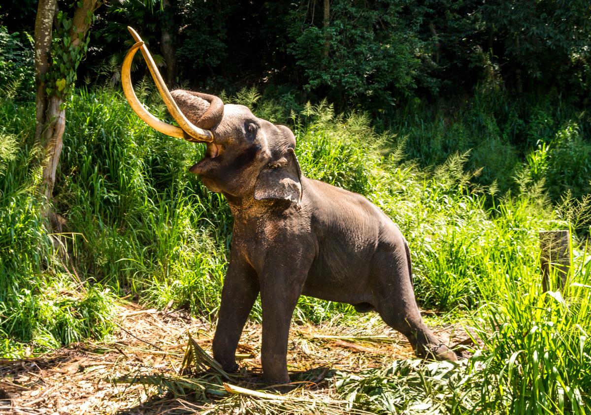 Elefante de los militares en Kandy