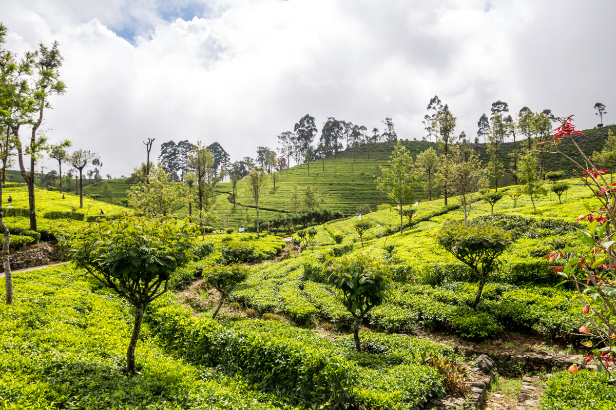 Campos de té junto a Haputale
