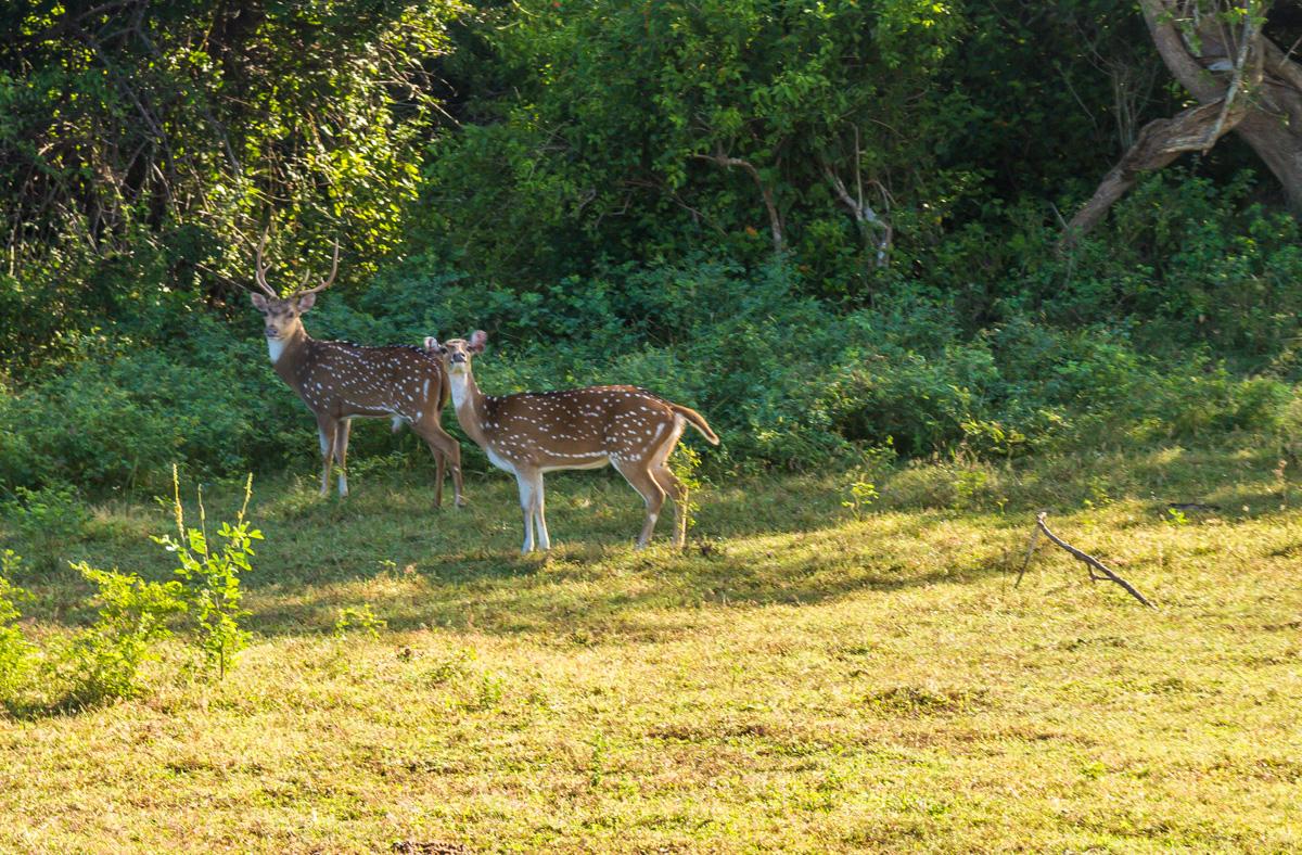 Bambis, Yala