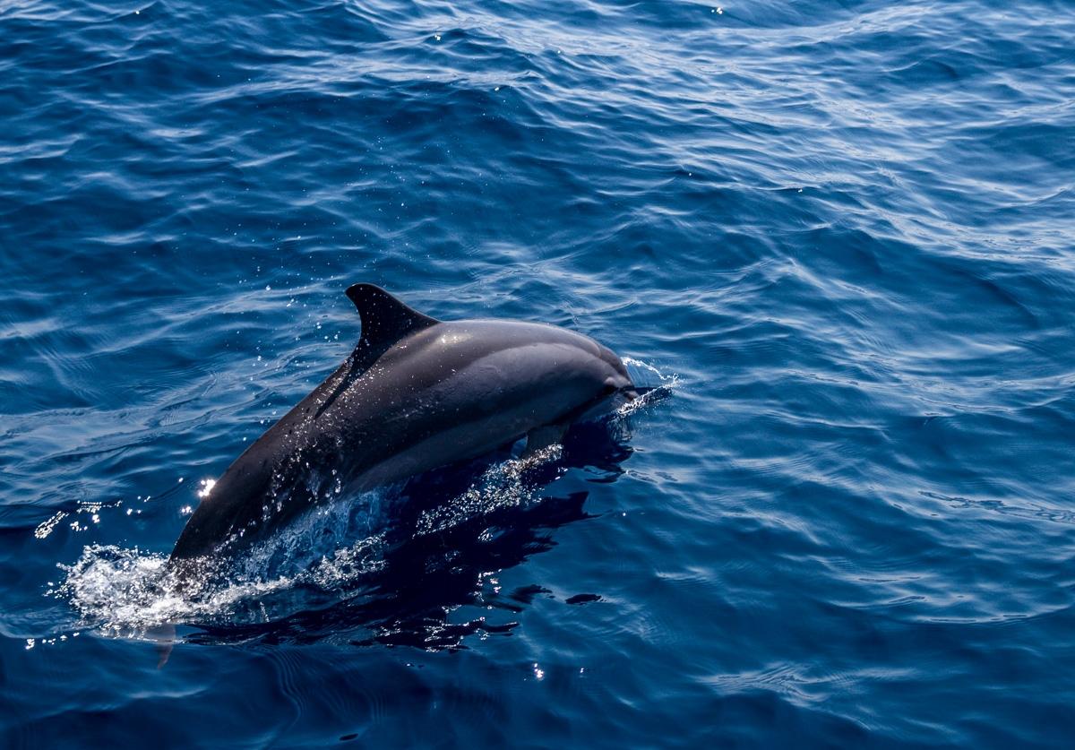 Delfín saltando! Mirissa
