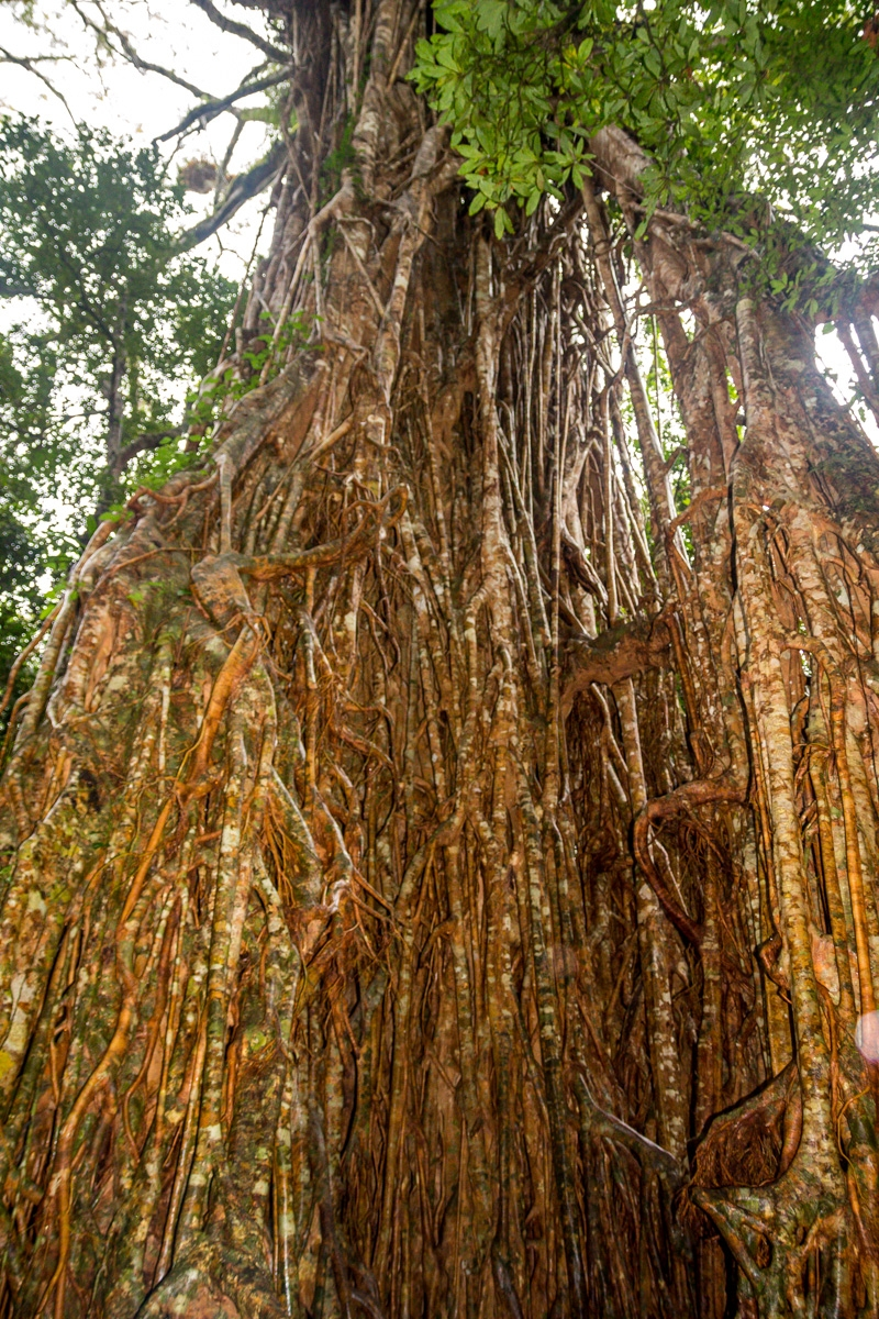 Cathedral Strangler Fig, en Atherton Tablelands, Cairns